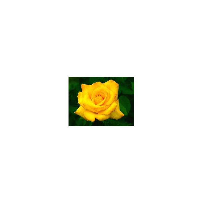 ROSA ETERNA COLOR AMARILLO 60 cm